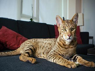 Pricey Leopard Like House Cat Offered As Designer Pet