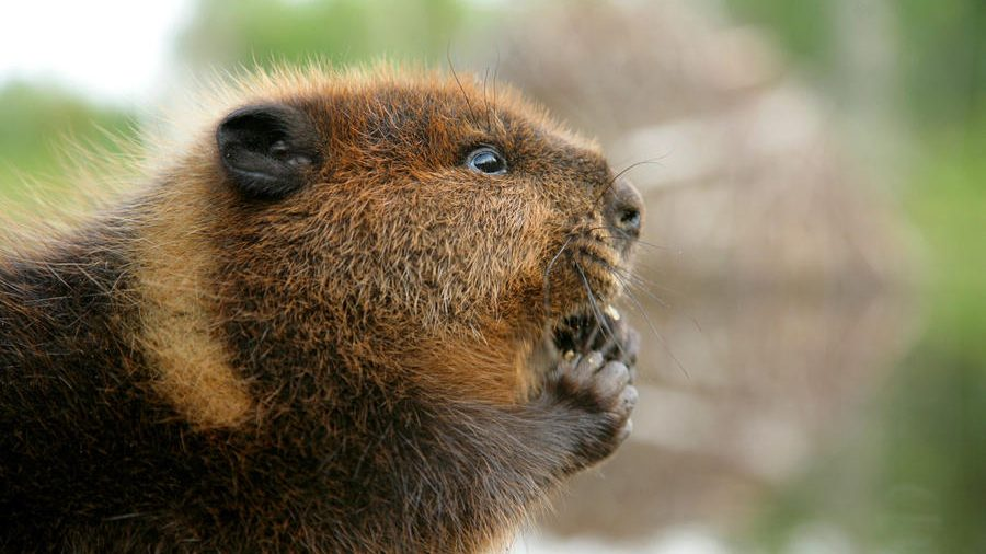 Senator Wants Beaver Replaced As National Symbol Citynews Toronto
