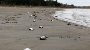 Dead birds line a portion of Allenwood Beach just outside of Wasaga Beach, Ont., on Oct. 22, 2011. THE CANADIAN PRESS/Benjamin Ricetto.