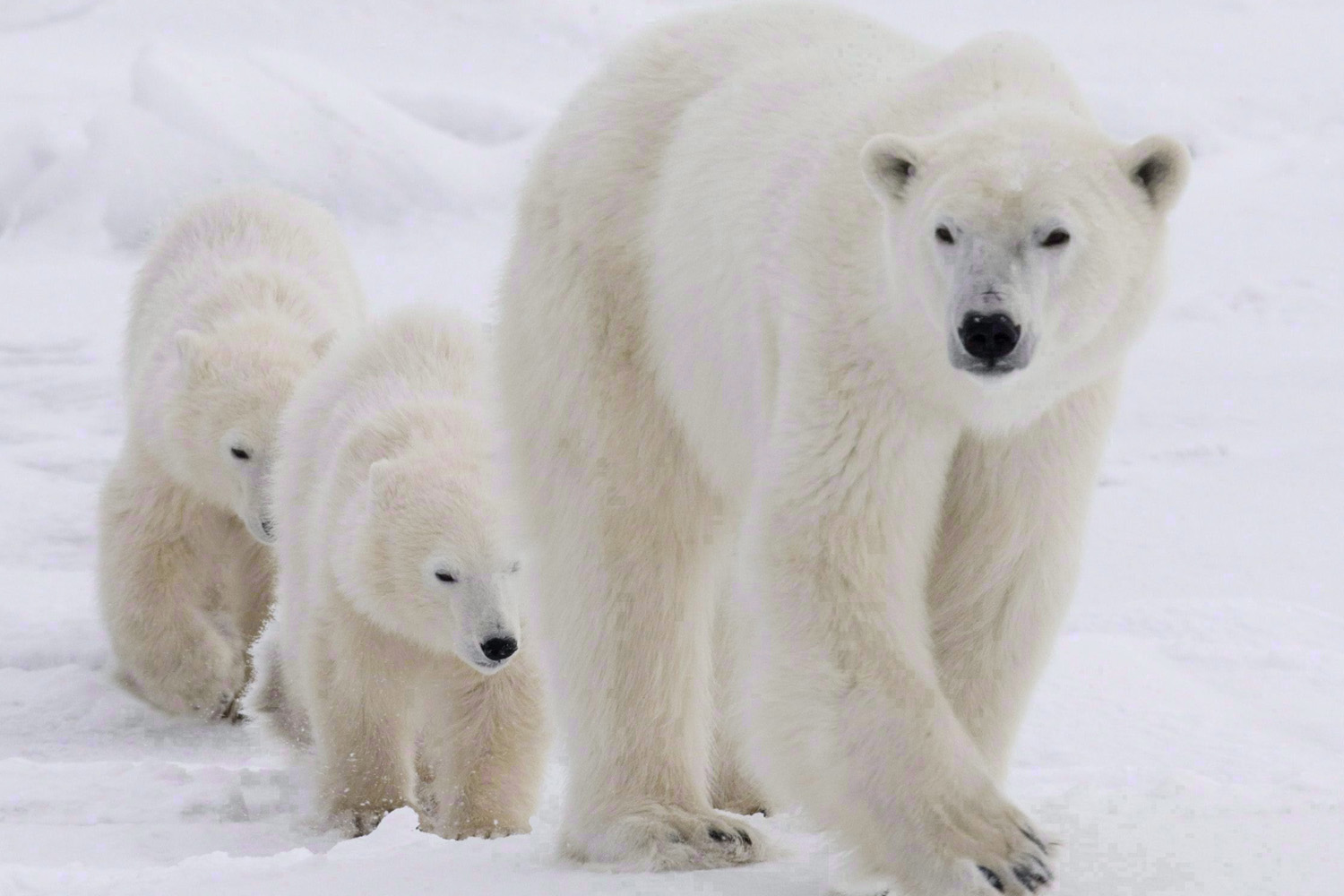A polar bear mother and her two cubs walk along the shore of Hudson Bay near Churchill, Man., on Nov. 7, 2007. THE CANADIAN PRESS/Jonathan Hayward