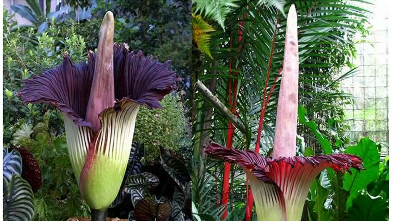 World 39 S Tallest Flower About To Bloom In Niagara
