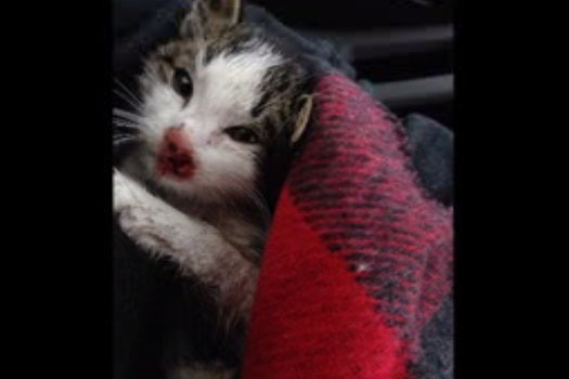 Police say no fraud investigation into crowdfunding for kitten thrown onto Hwy. 427