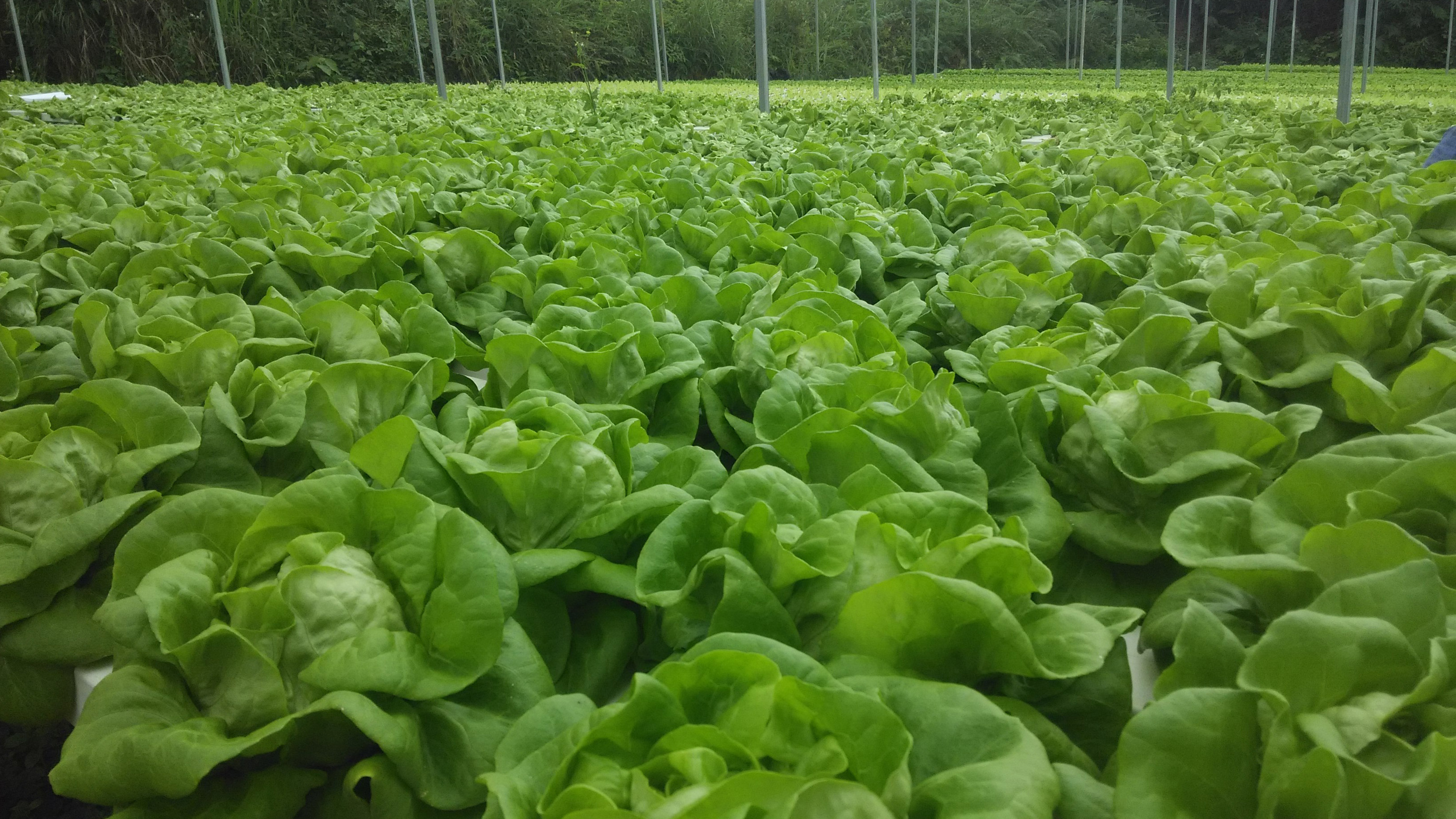 File photo of lettuce growing in a greenhouse. GETTY IMAGES.