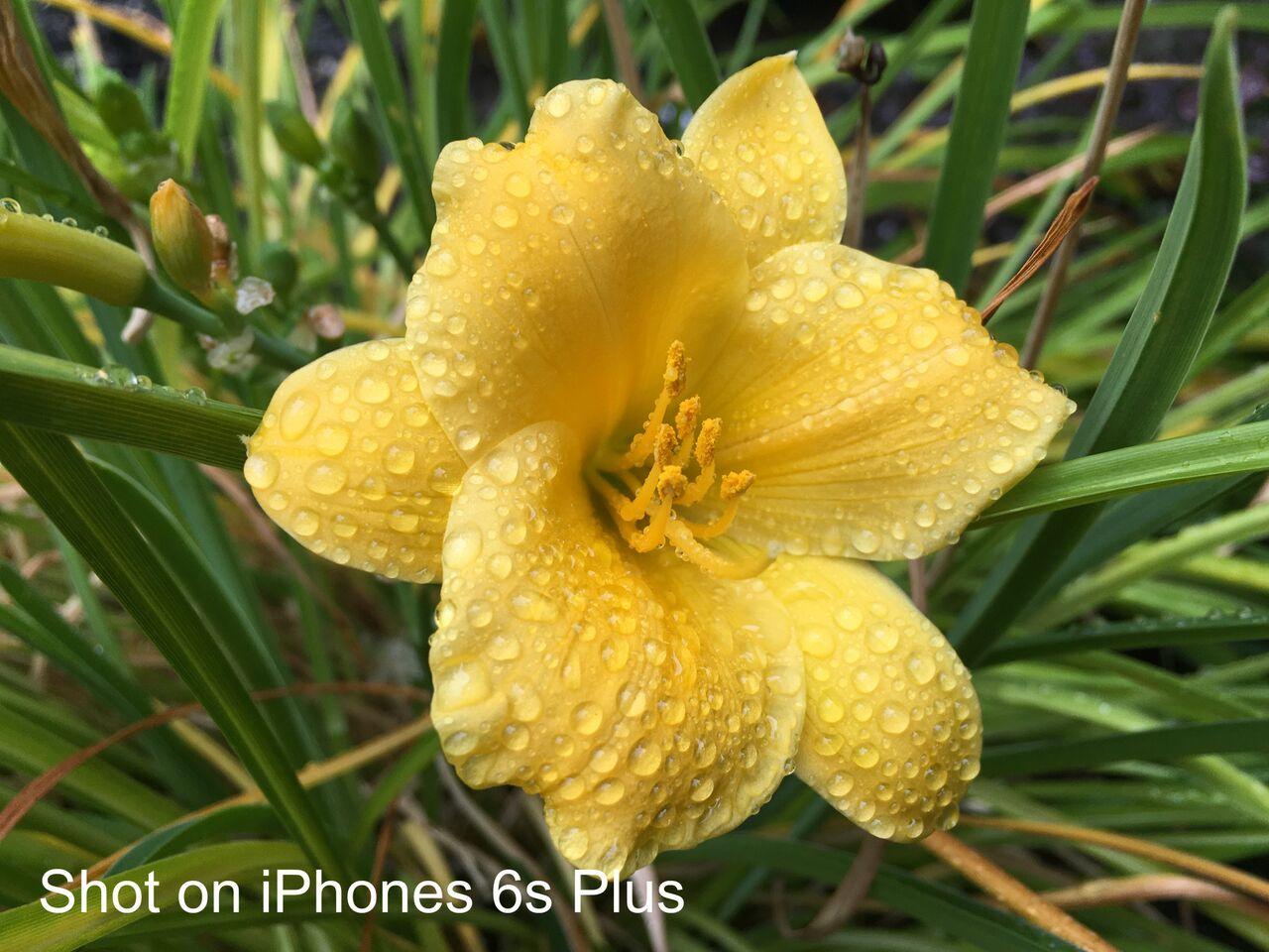 iPhone 6splus Mike Yawney/CityNews