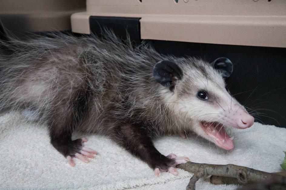 Brampton Opossum after being found on truck bound for Calgary, Image via Toronto Wildlife Centre