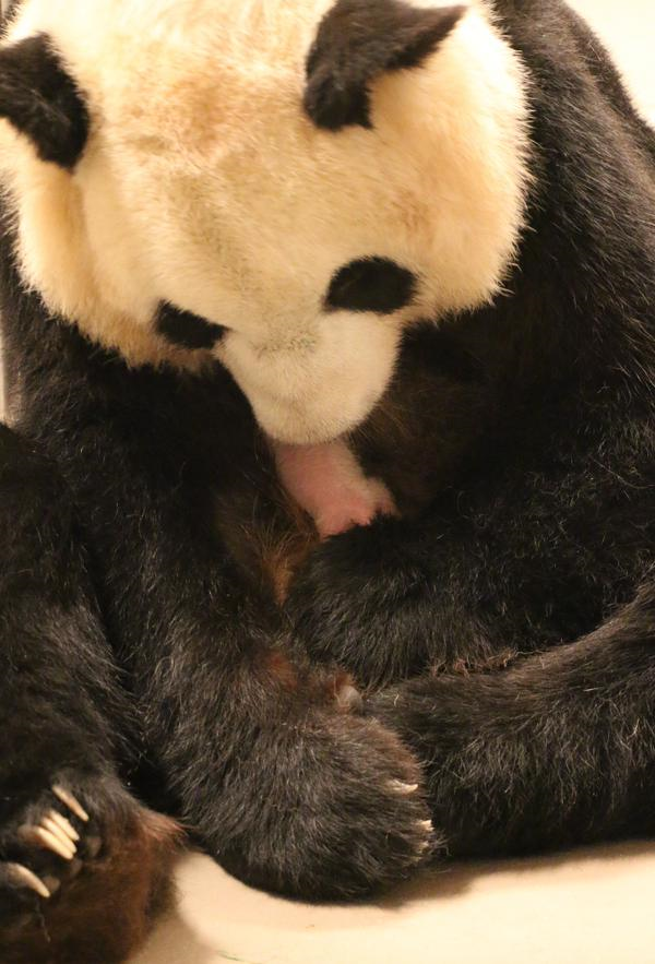 Er Shun tends to one of her cubs at The Toronto Zoo on Oct. 16, 2015. TORONTO ZOO.