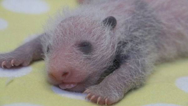 The Toronto Zoo's baby pandas on Oct. 23, 2015. TORONTO ZOO