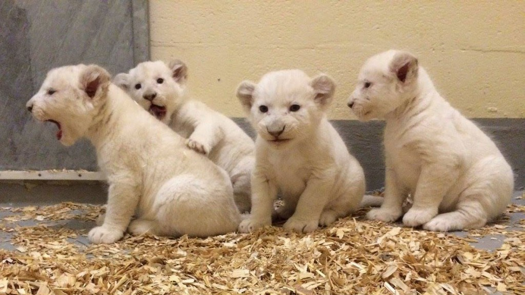 Four rare white lion cubs hanging out in the maternity ward. TORONTO ZOO.