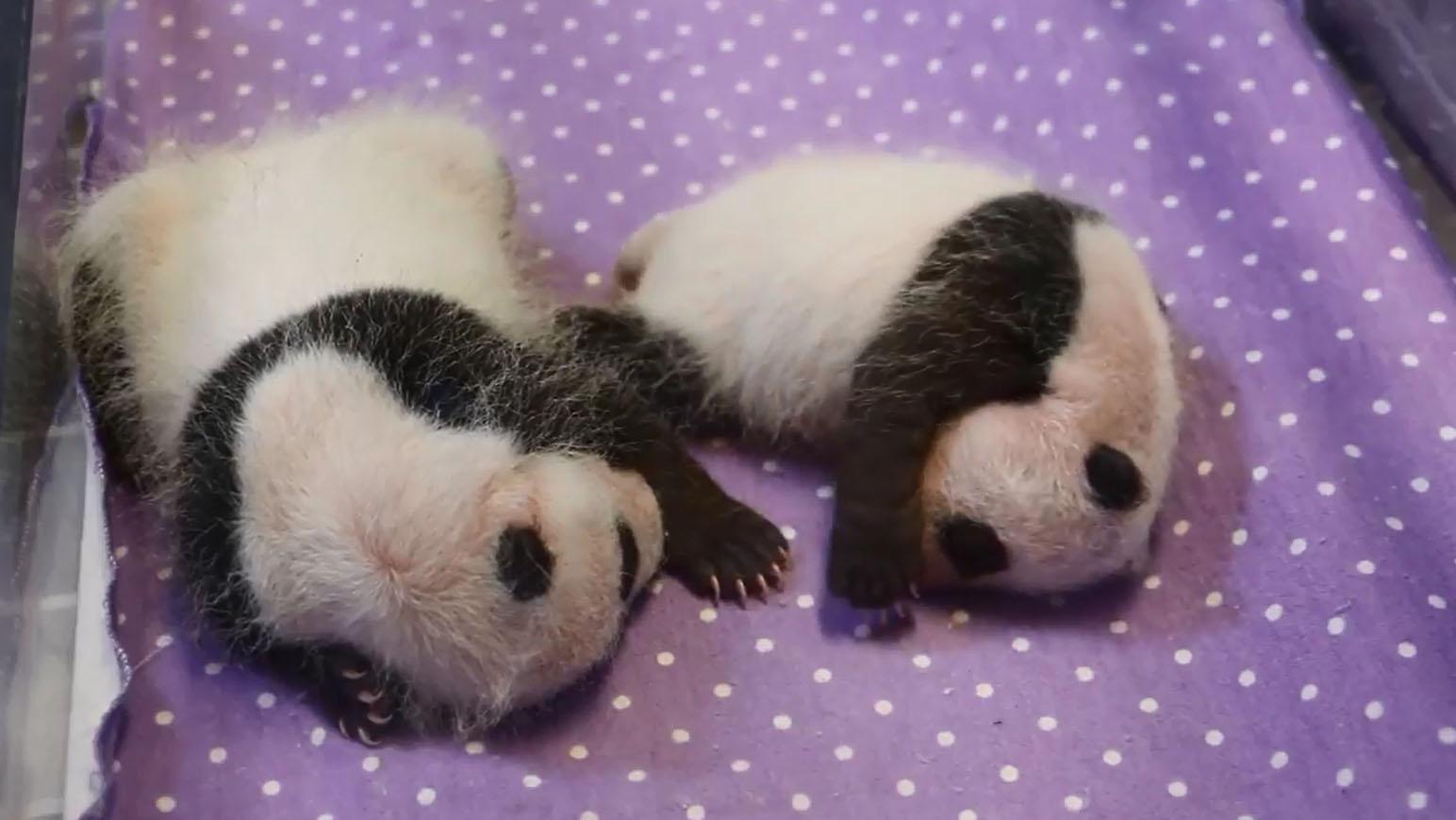 The Toronto Zoo's twin pandas are seen on Nov. 12, 2015. Screen grab via Twitter/@TheTorontoZoo.