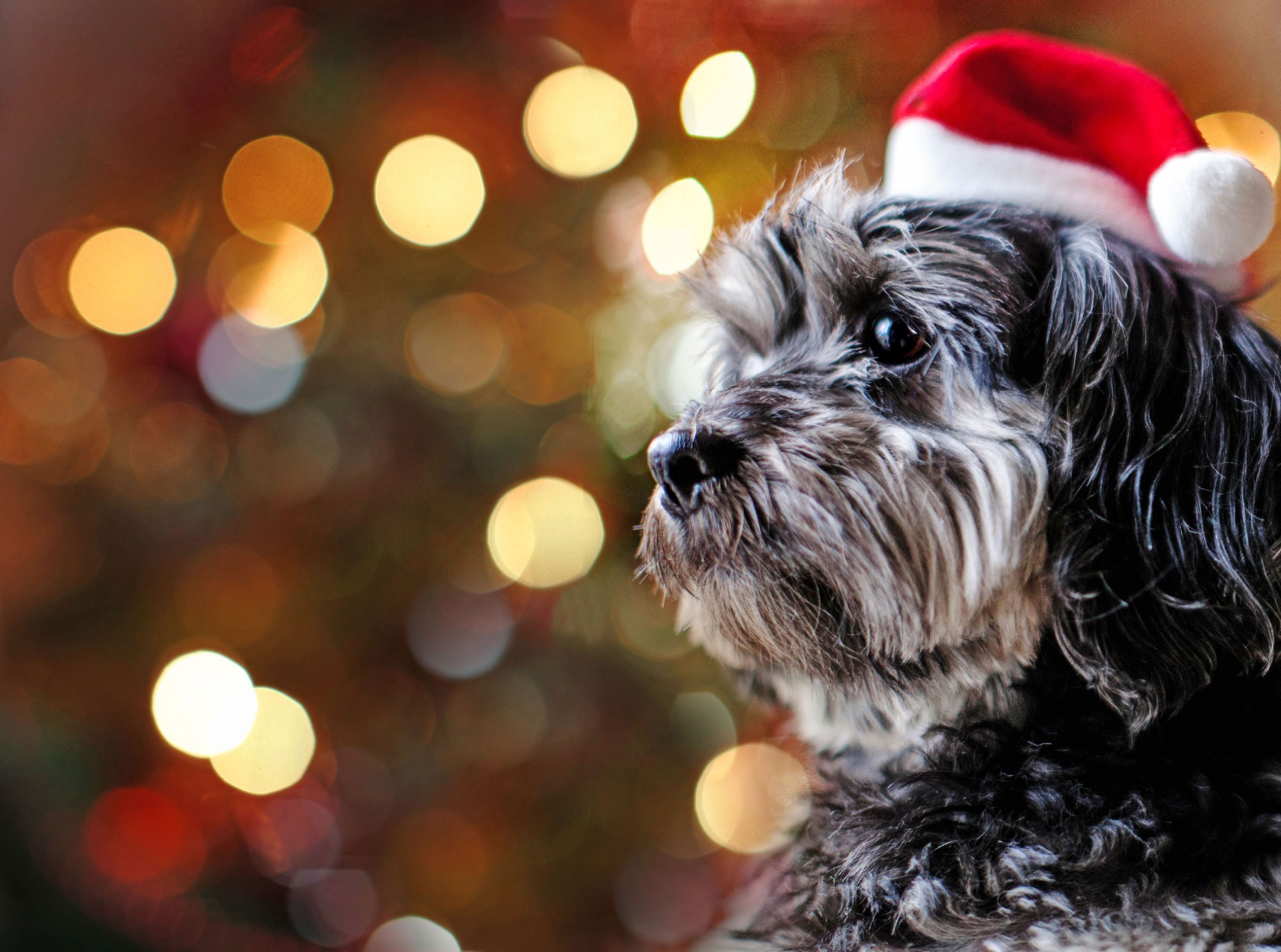 A dog dressed up for the Christmas season. GETTY IMAGES/Kirsty Nichol.