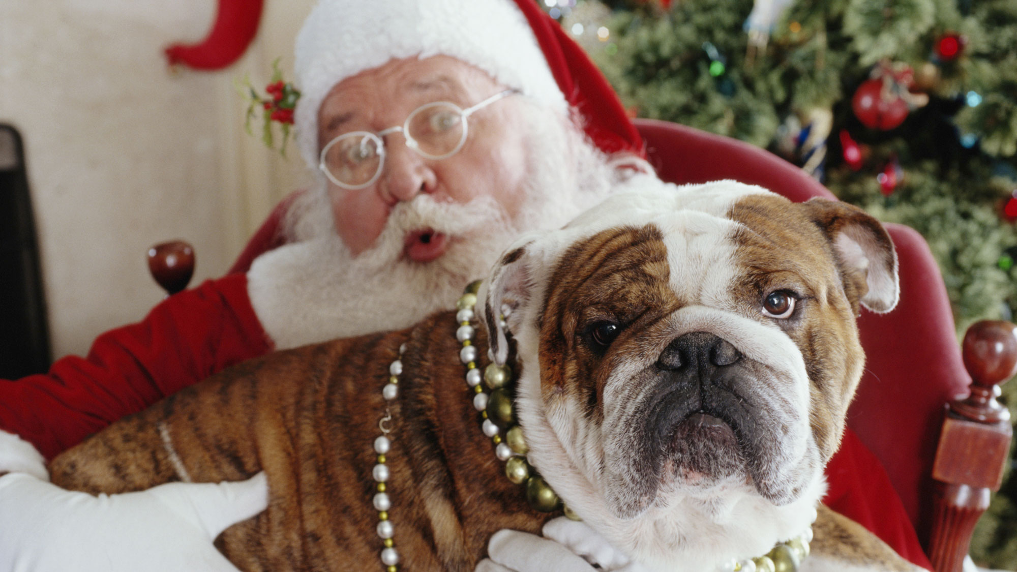 English bulldog lying on Santa's lap. GETTY IMAGES/LWA.
