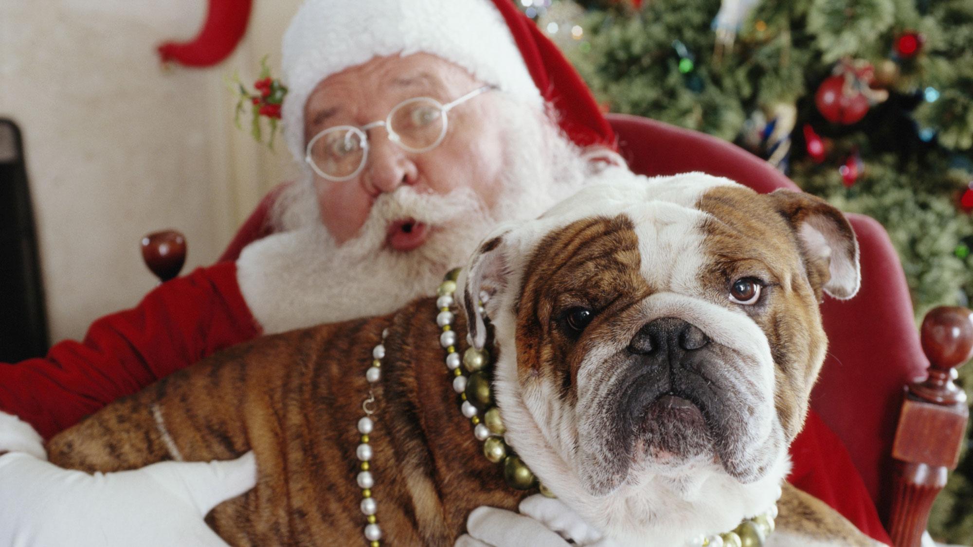 English bulldog lying on Santa's lap. GETTY IMAGES/LWA
