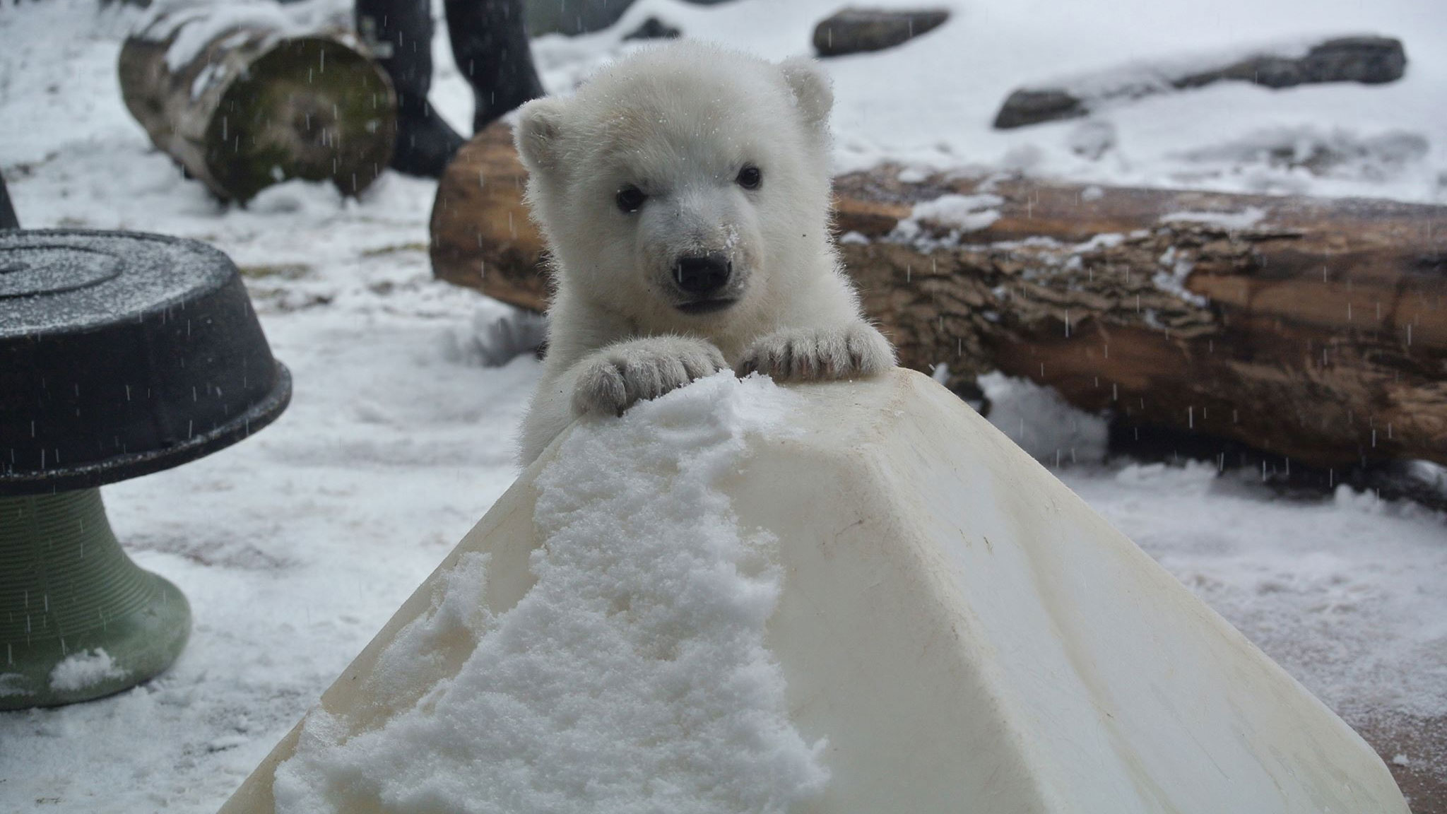 Toronto Zoo's polar bear cub at three months old on Feb. 12, 2016. TORONTO ZOO.