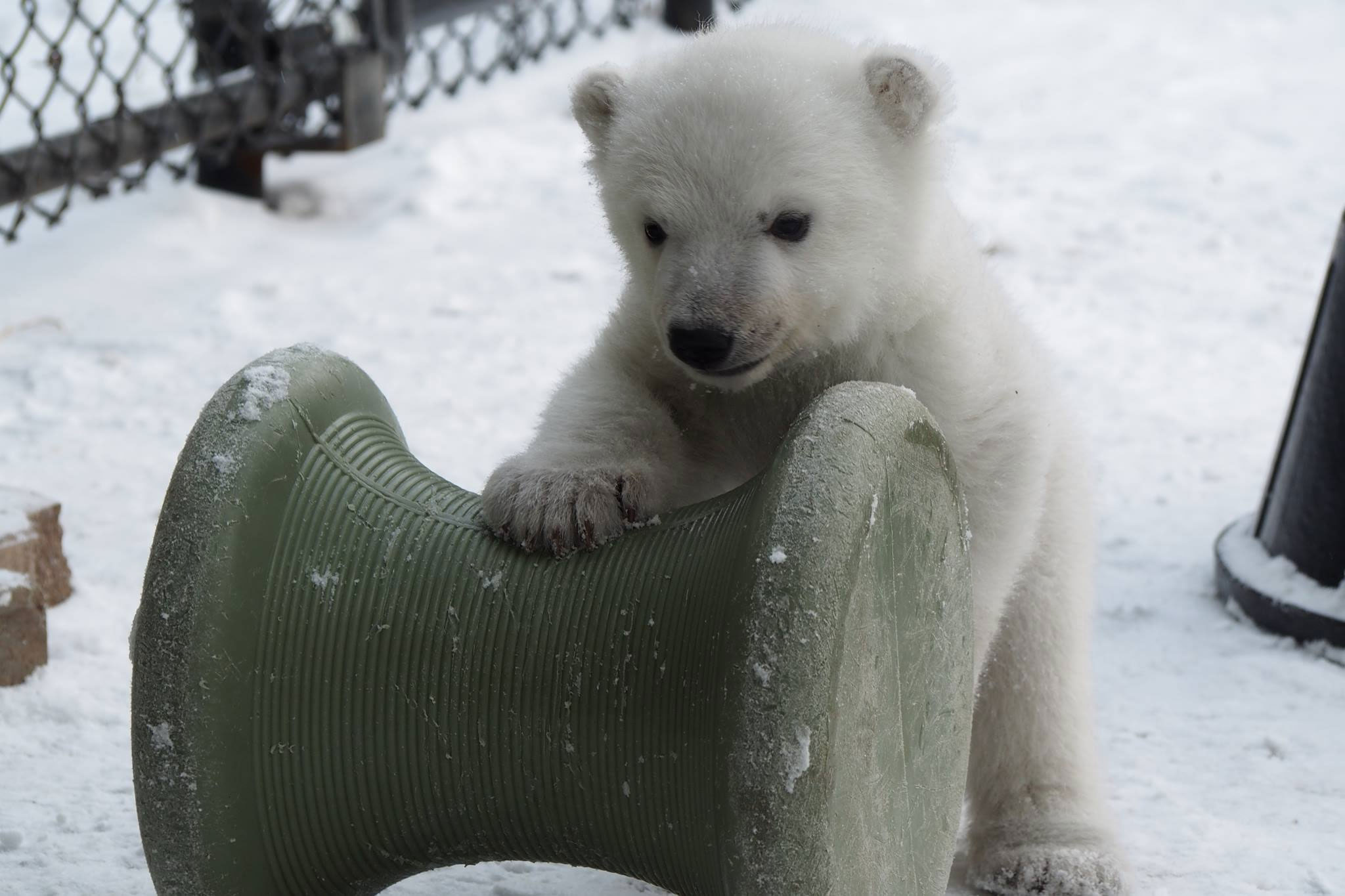 Toronto Zoo's polar bear cub at three months old on Feb. 12, 2016. TORONTO ZOO