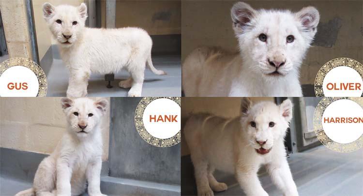 toronto zoo announces names of adorable white lion cubs citynews