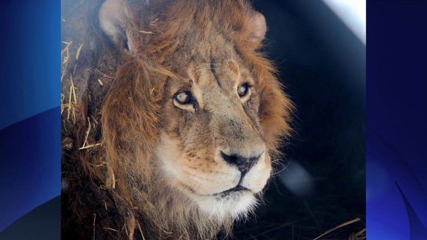 lion killed at eastern ontario zoo. Black Bedroom Furniture Sets. Home Design Ideas