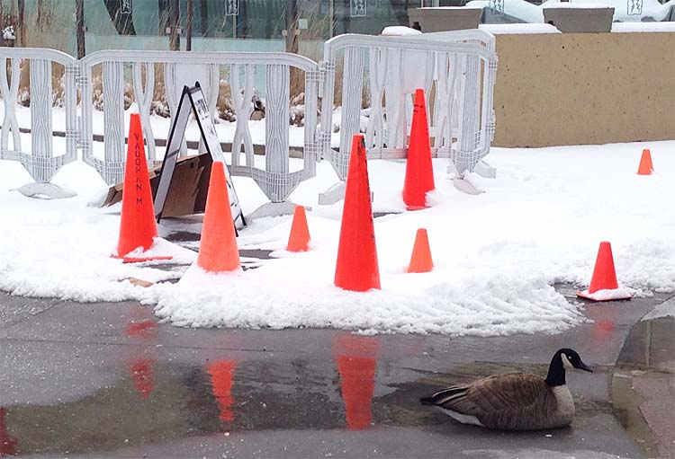 Canada Goose chilliwack parka replica discounts - Trending: Goose takes up residence outside mall, gets royal ...