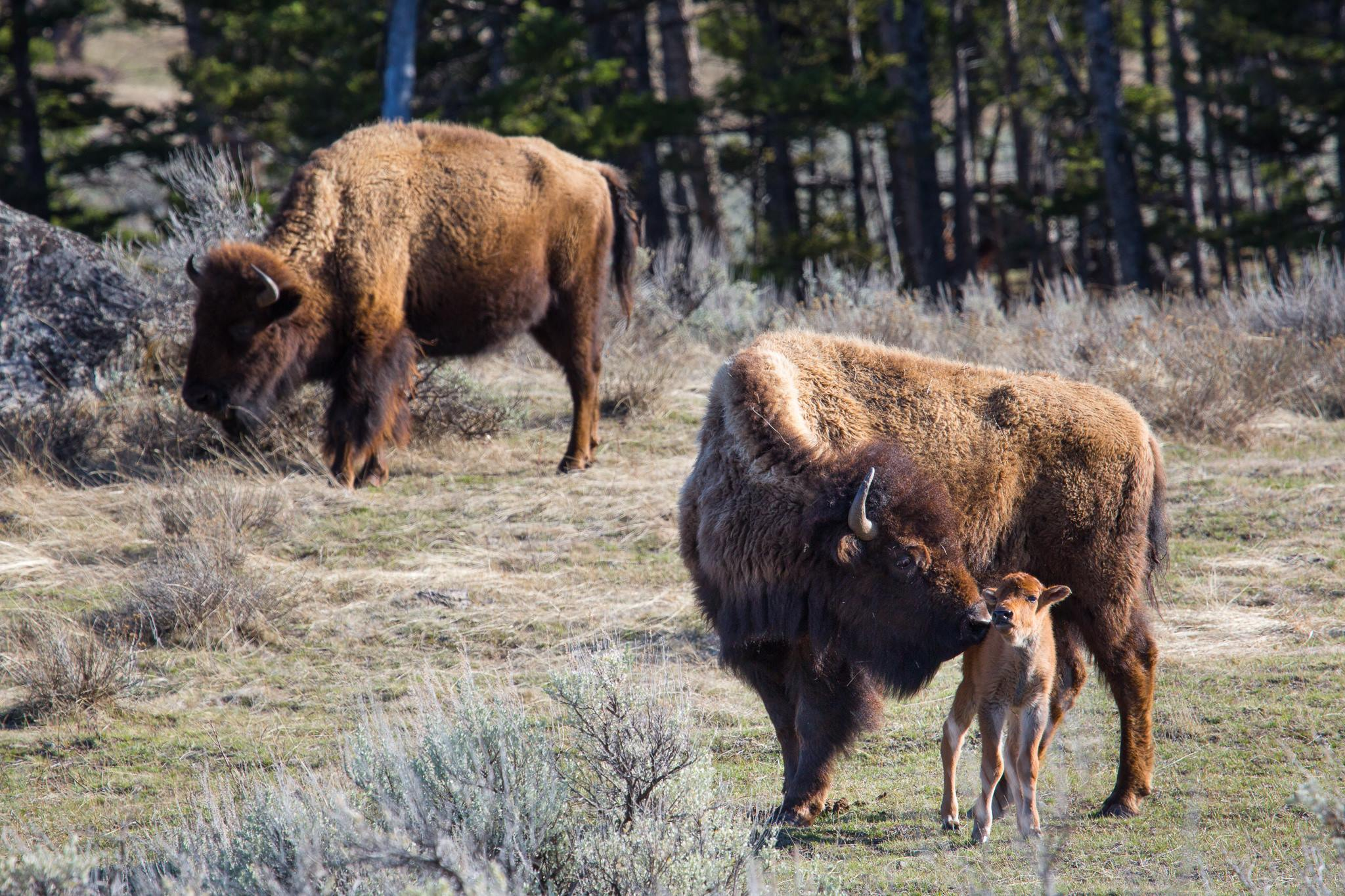 Photo of three bison at Yellowknife National Park. FACEBOOK/Yellowstone National Park.