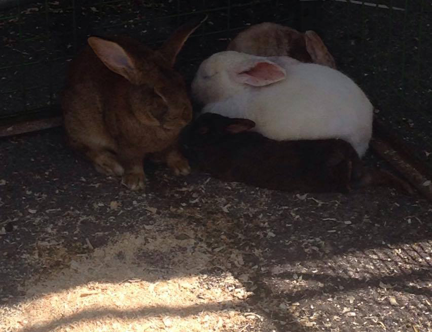 Rabbits try to find shade during the Aurora Street Festival. CITYNEWS
