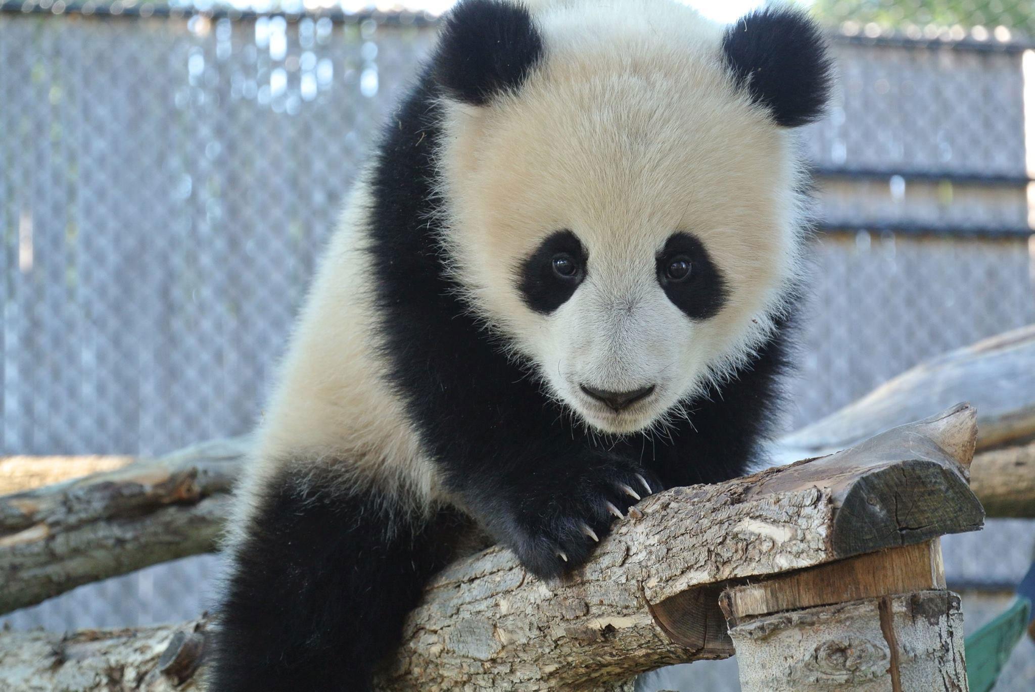 At Eight Months Old, Toronto Zoo Panda Cubs Starting To