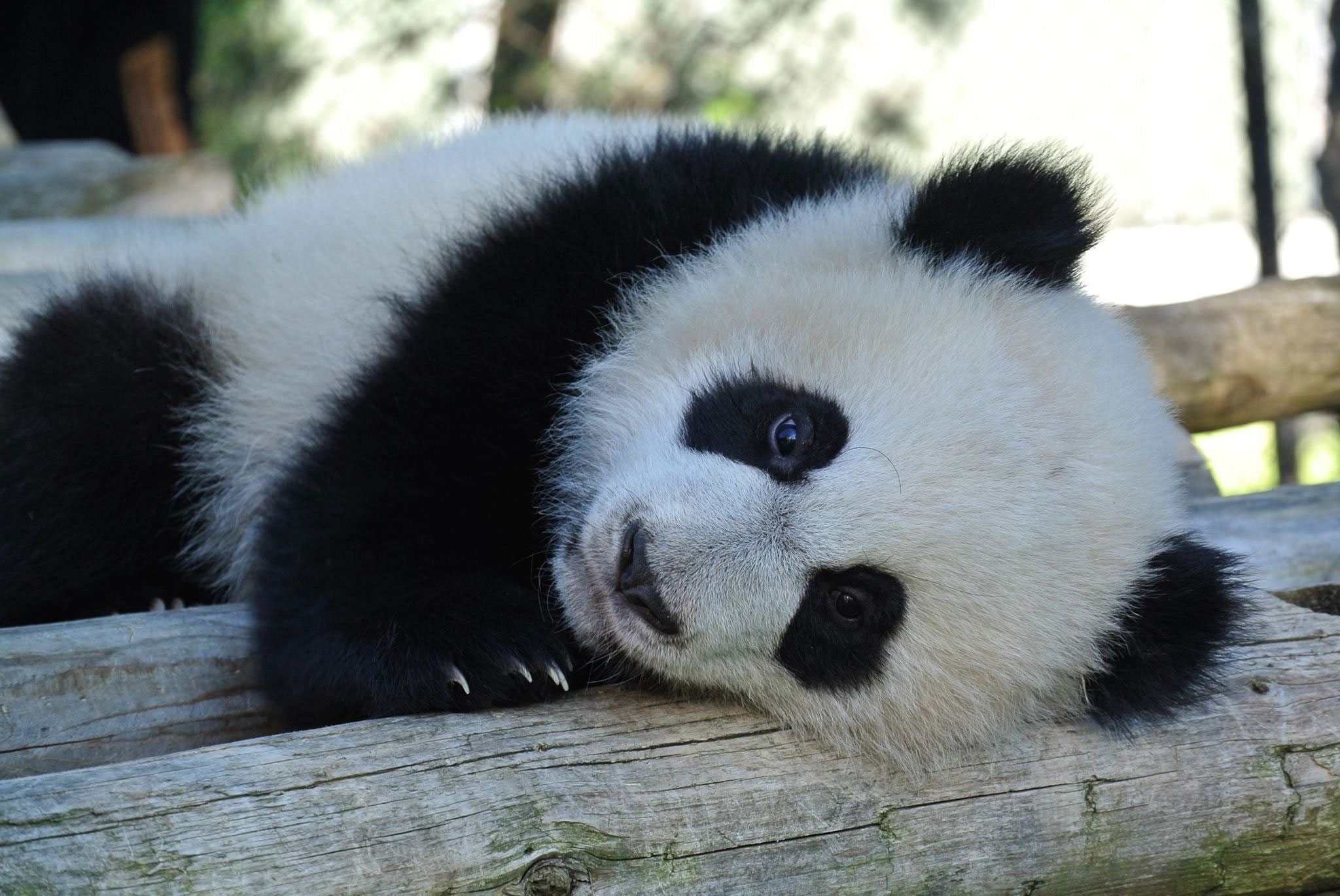 at eight months old toronto zoo panda cubs starting to. Black Bedroom Furniture Sets. Home Design Ideas