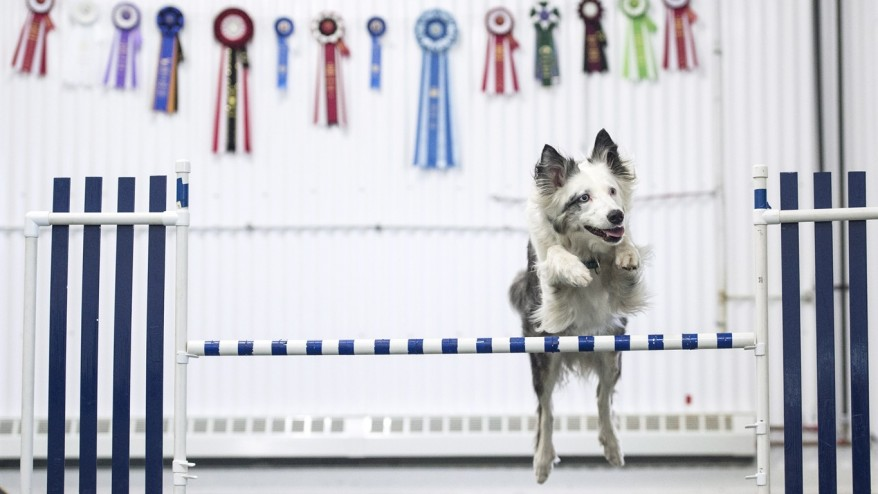 Agility Champion dog Seven