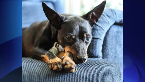 Kaiogi, an 11-year-old Miniature Pinscher, is up for adoption through Rescue Dogs Match. Image credit: Rescue Dogs Match.