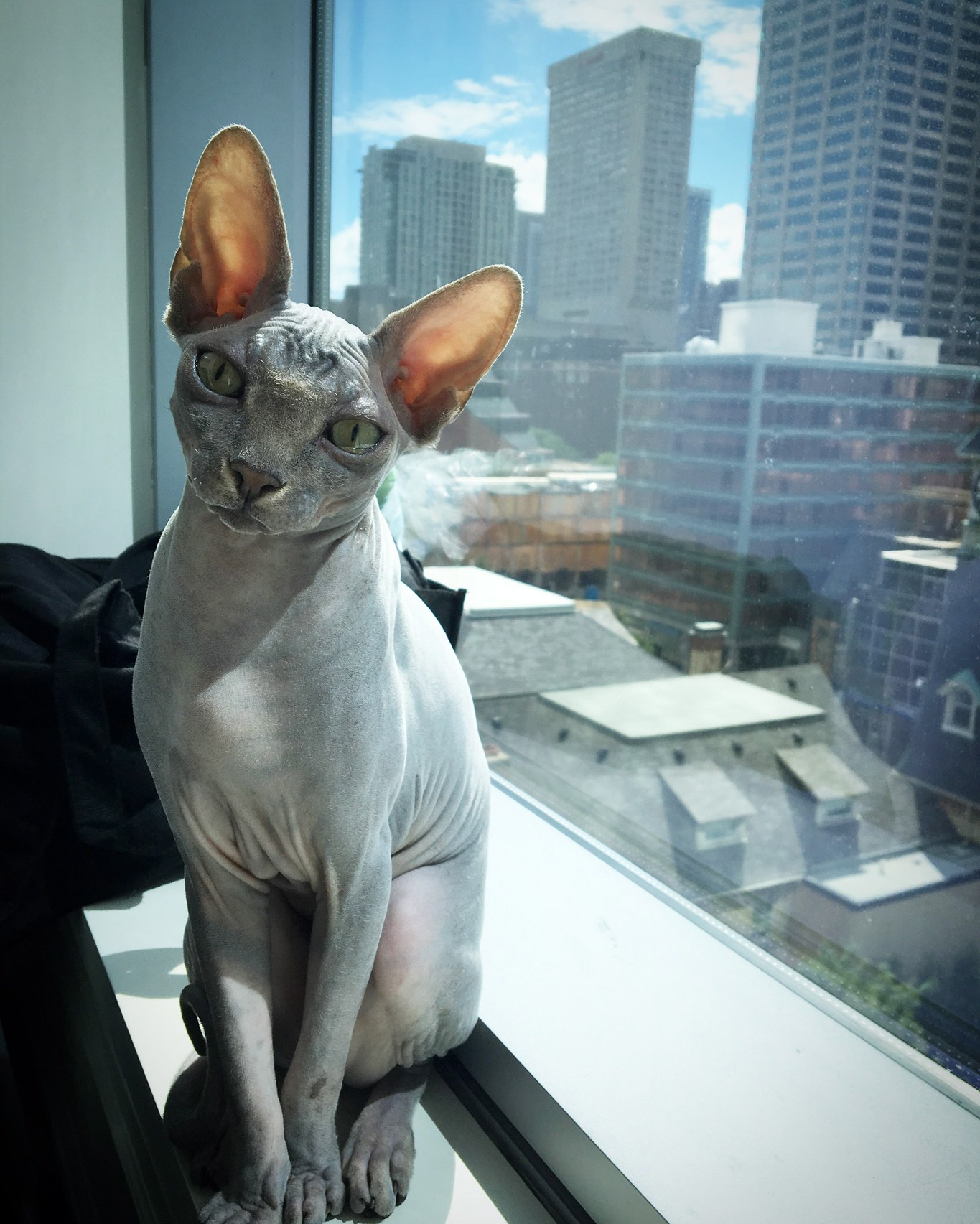 Sphynx Cat Breed Profile - Cattylicious Cats & Kittens