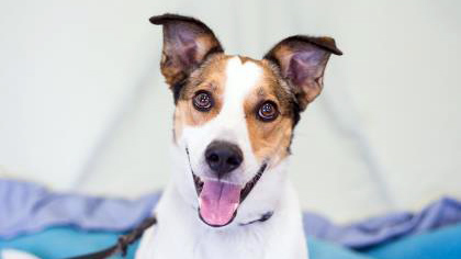 Odie, a five-year-old dog, is available for adoption through the Toronto Humane Society. TORONTO HUMANE SOCIETY