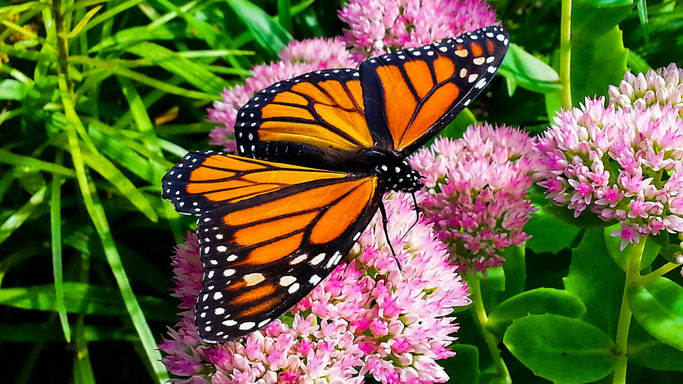 A monarch butterfly on a flowering plant. GETTY IMAGES/Ryan Fullerton/EyeEm