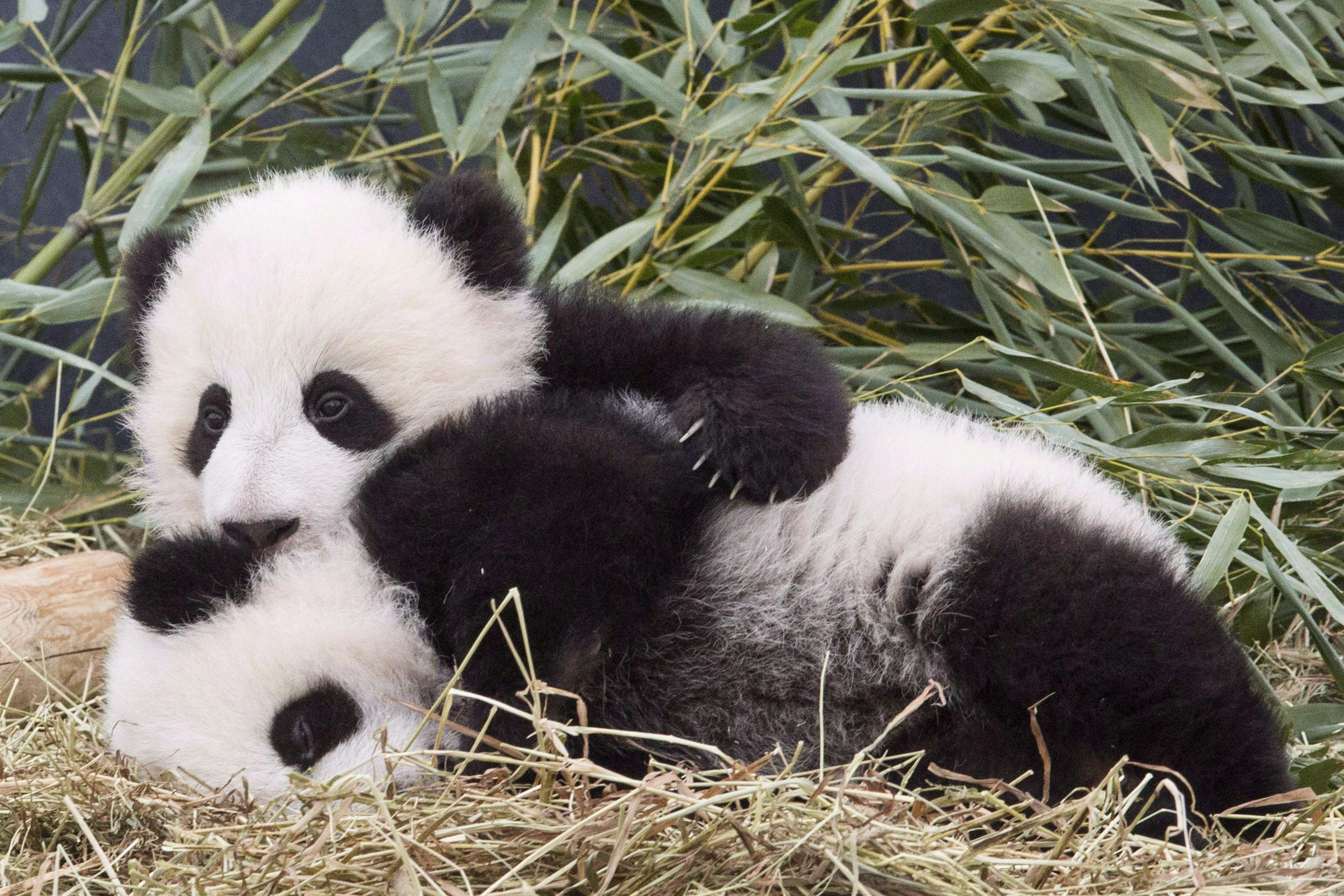 Panda cubs Jia Panpan and Jia Yueyue play in an enclosure at the Toronto Zoo on March 7, 2016. THE CANADIAN PRESS/Chris Young