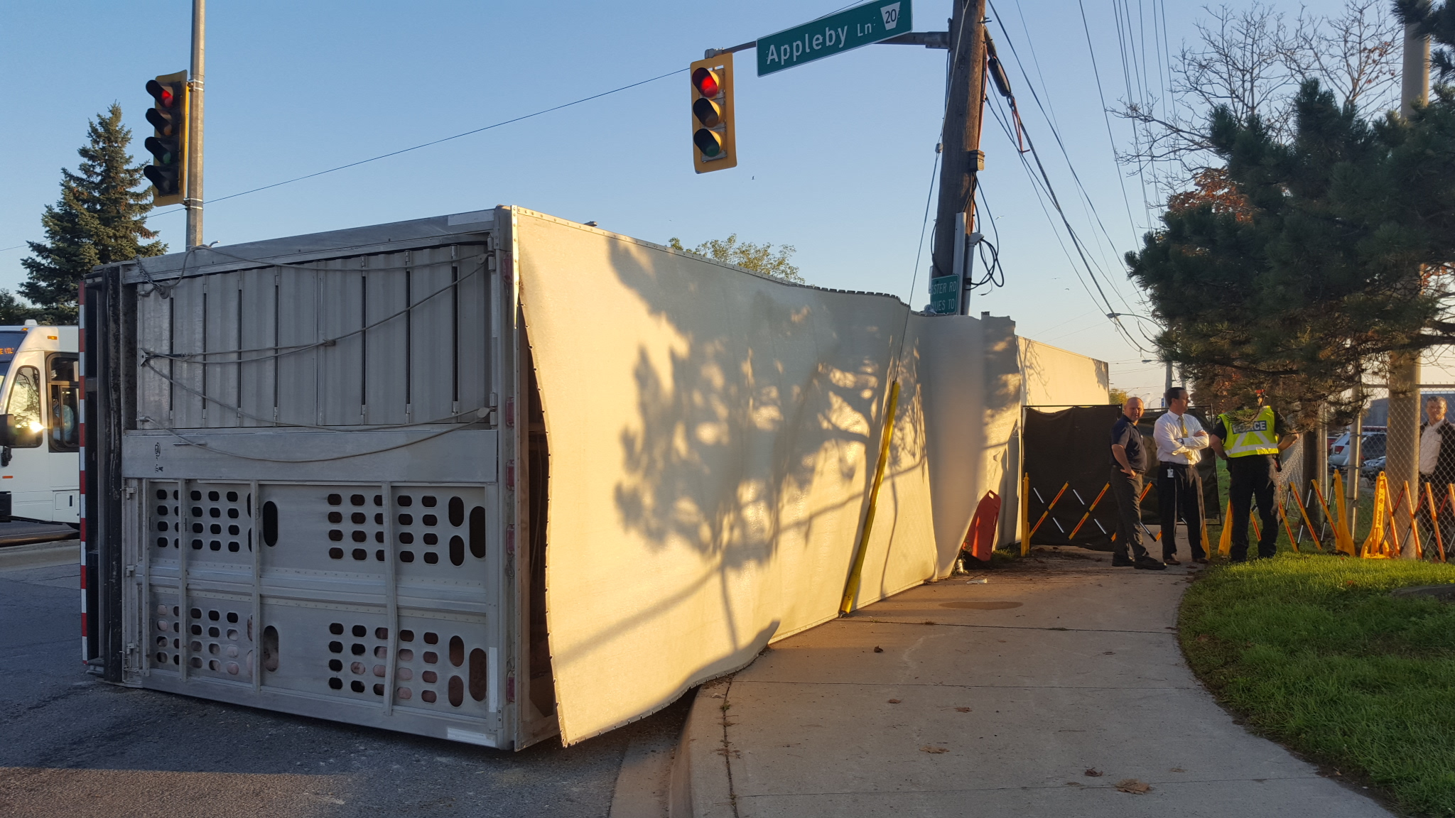 A pig runs away after a truck overturned at a slaughterhouse entrance on Oct. 5, 2016. Image credit: David Ritchie