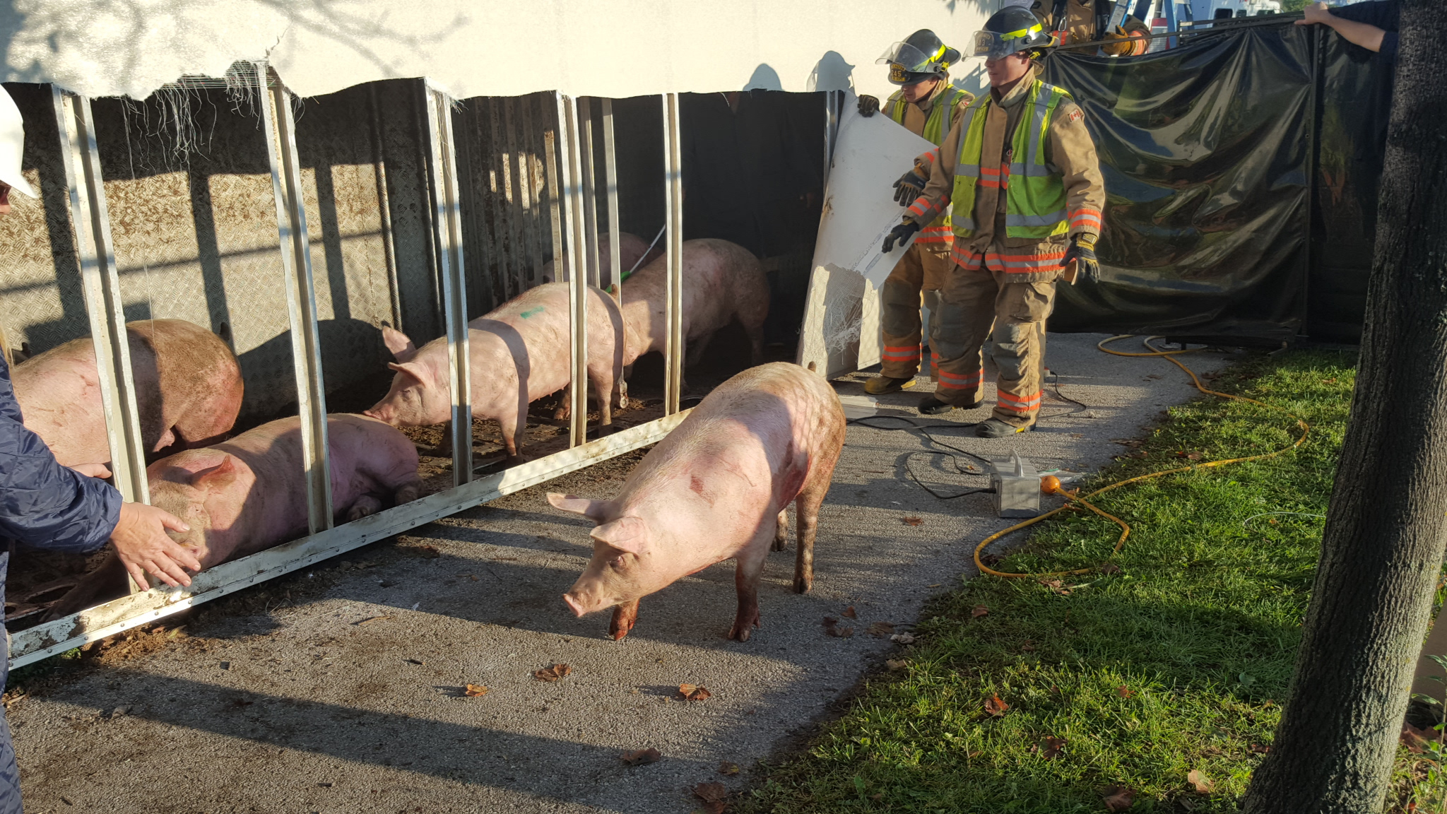 Pigs being corralled after a truck overturned at a slaughterhouse entrance on Oct. 5, 2016. Image credit: David Ritchie