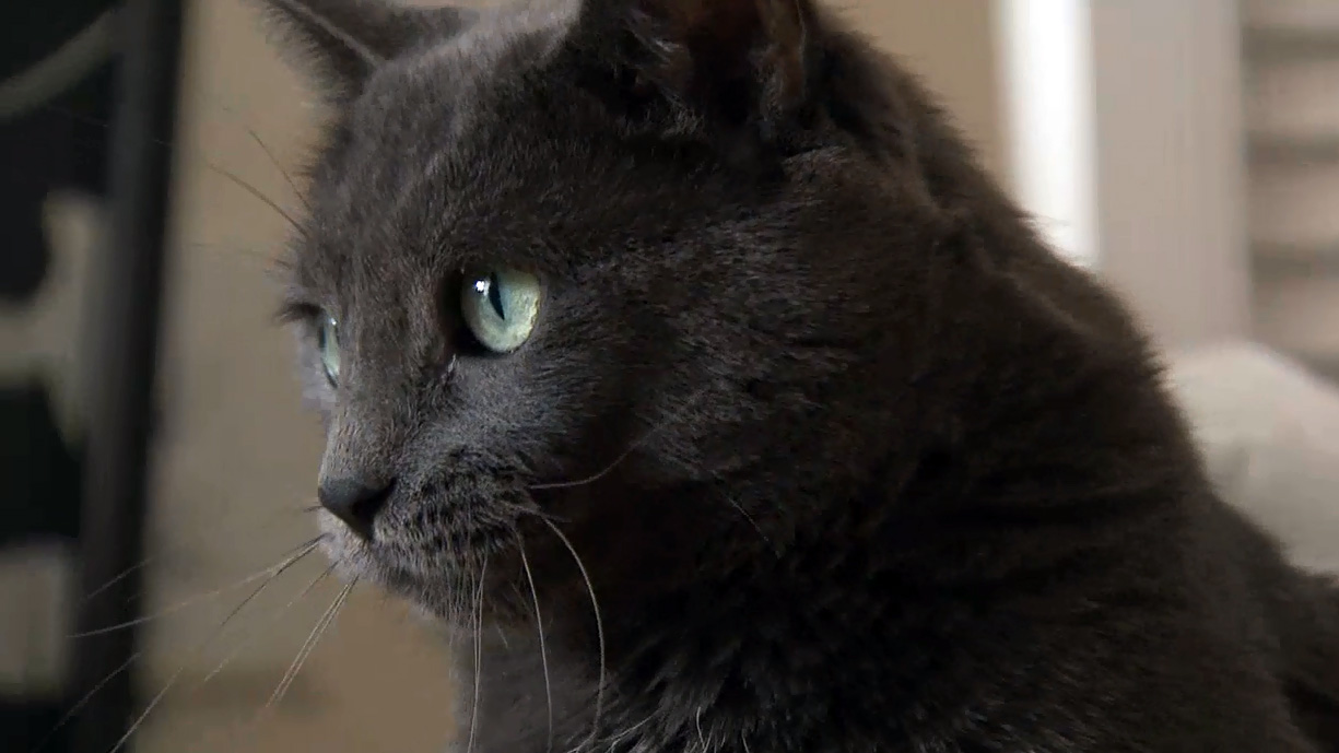Smokey, a five-year-old cat, is available for adoption through Annex Cat Rescue.