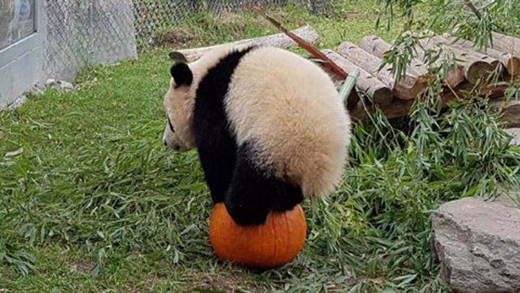 One of the giant pandas at the Toronto Zoo balancing on a pumpkin. TWITTER/@TheTorontoZoo