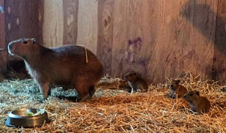 Toronto's famous capybara couple, nicknamed Bonnie and Clyde, are now parents to three capybara babies. TORONTO PARKS AND TREES FOUNDATION