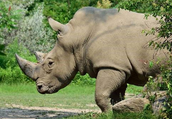 A white rhino at the Toronto Zoo. Photo credit: Twitter/@TheTorontoZoo