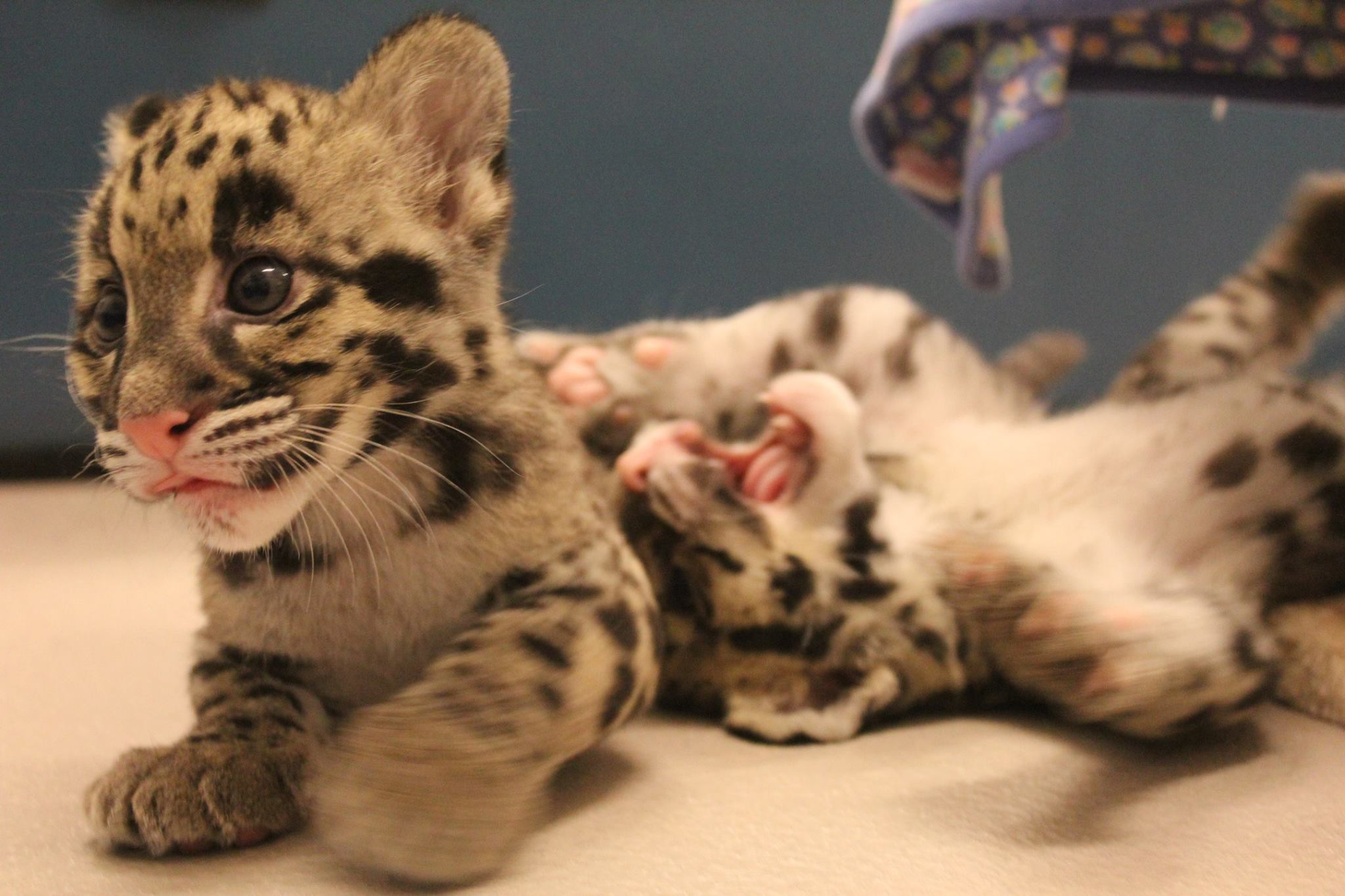 toronto zoo s clouded leopard cubs getting sassy citynews toronto