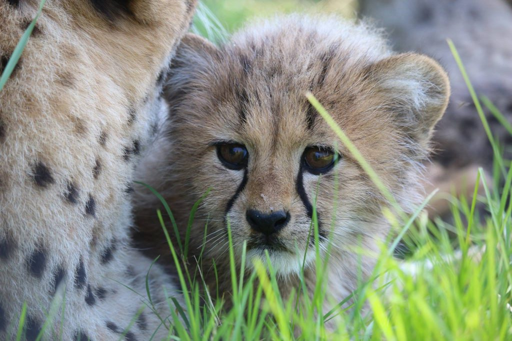 Toronto zoo shows off one of its five baby cheetahs, July 28, 2017. FACEBOOK/Toronto Zoo