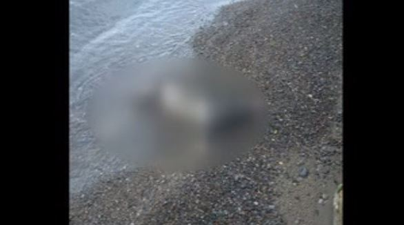 Blurred image of a goat found on a beach in Pickering, Aug. 8, 2017. CITYNEWS/Amanda Ferguson