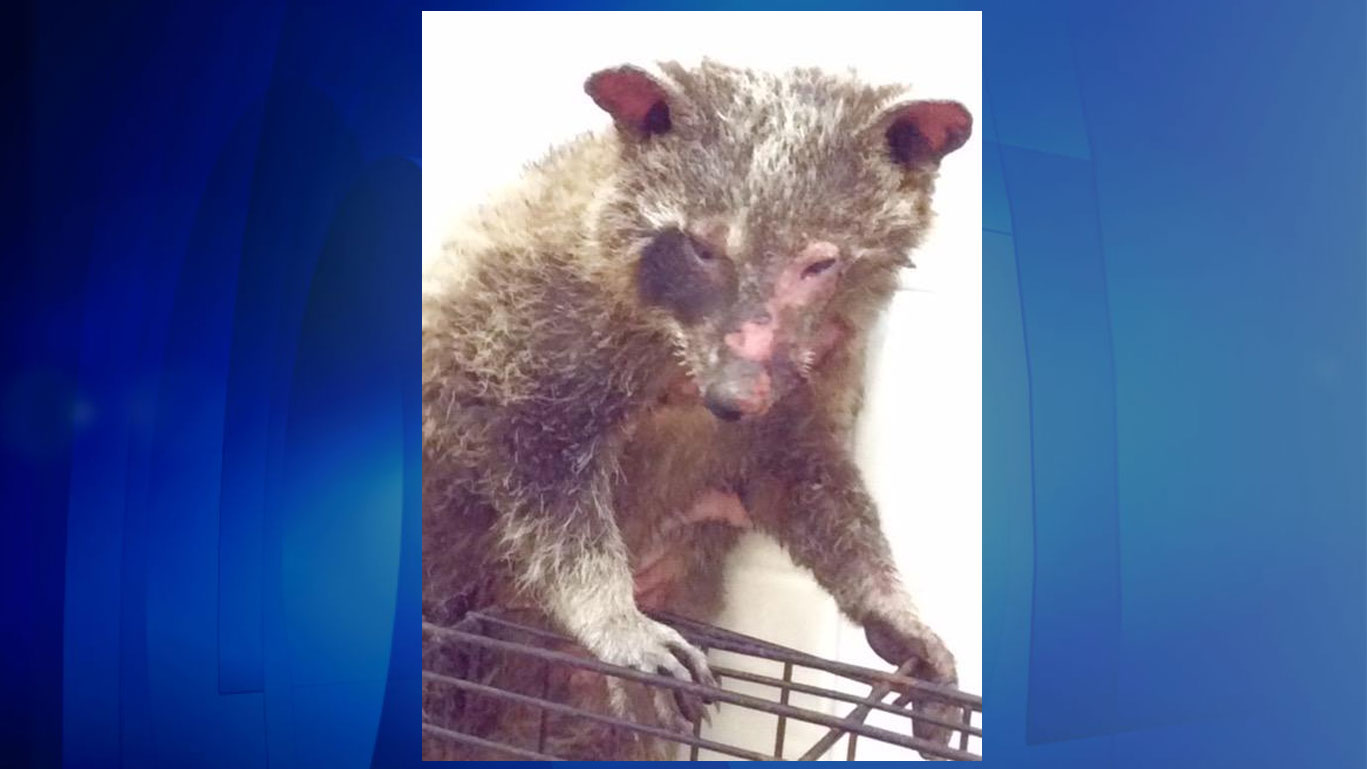 A female baby raccoon was found with burns to her face, arms, belly and one side of her body near a park in Barrie on Aug. 6, 2017. HANDOUT/Barrie Police Service, Procyon Wildlife Centre