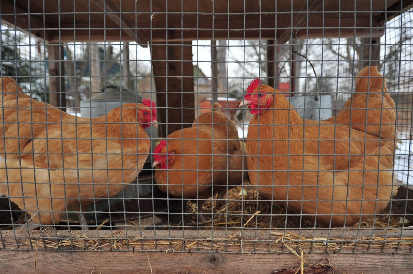 backyard chicken trend leads to more disease infections citynews