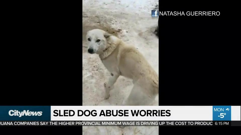 Filmmakers Allege Cruelty Abuse At Ontario Sled Dog Kennels