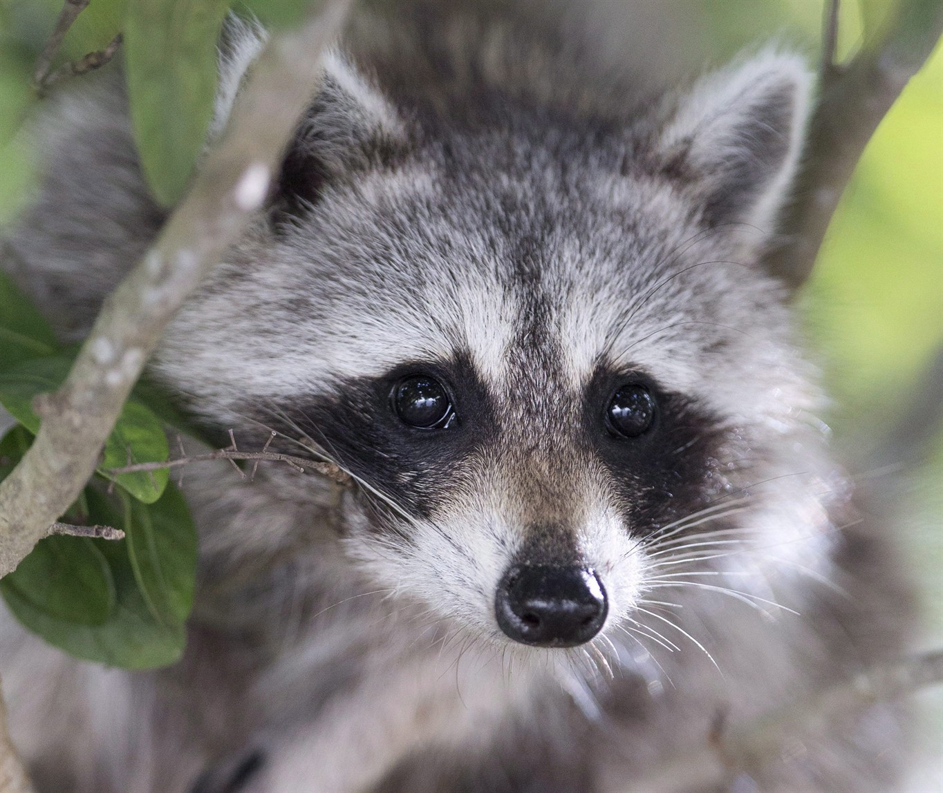 Man chased by raccoon believed to be infected