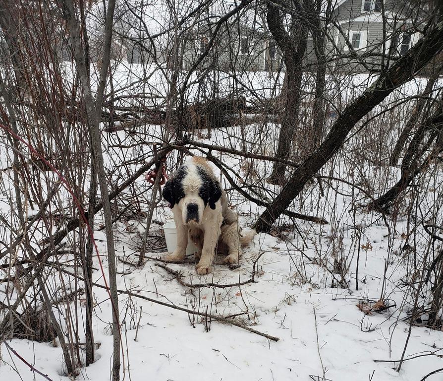 St  Bernard survives 17 days in Minnesota cold
