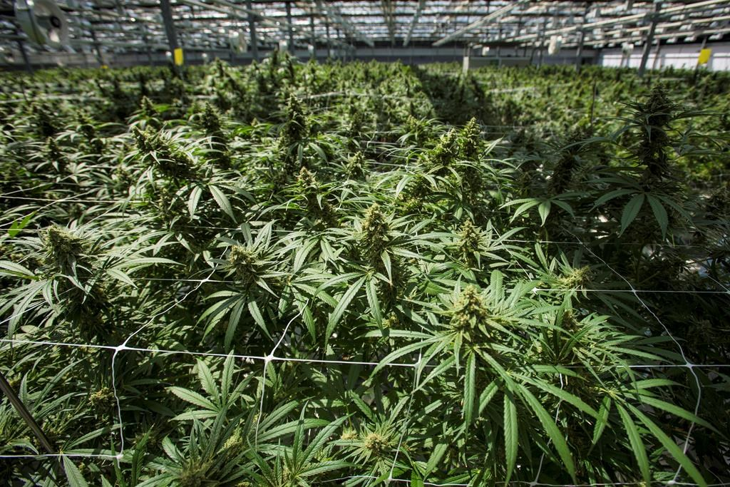 CannTrust shares dive on report that CEO, chair knew of