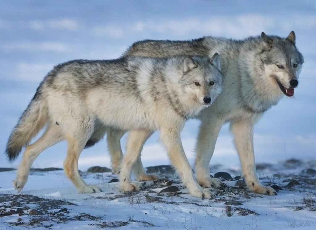 Increase Wolf Cull Pen Pregnant Cows To Save Endangered Caribou Study