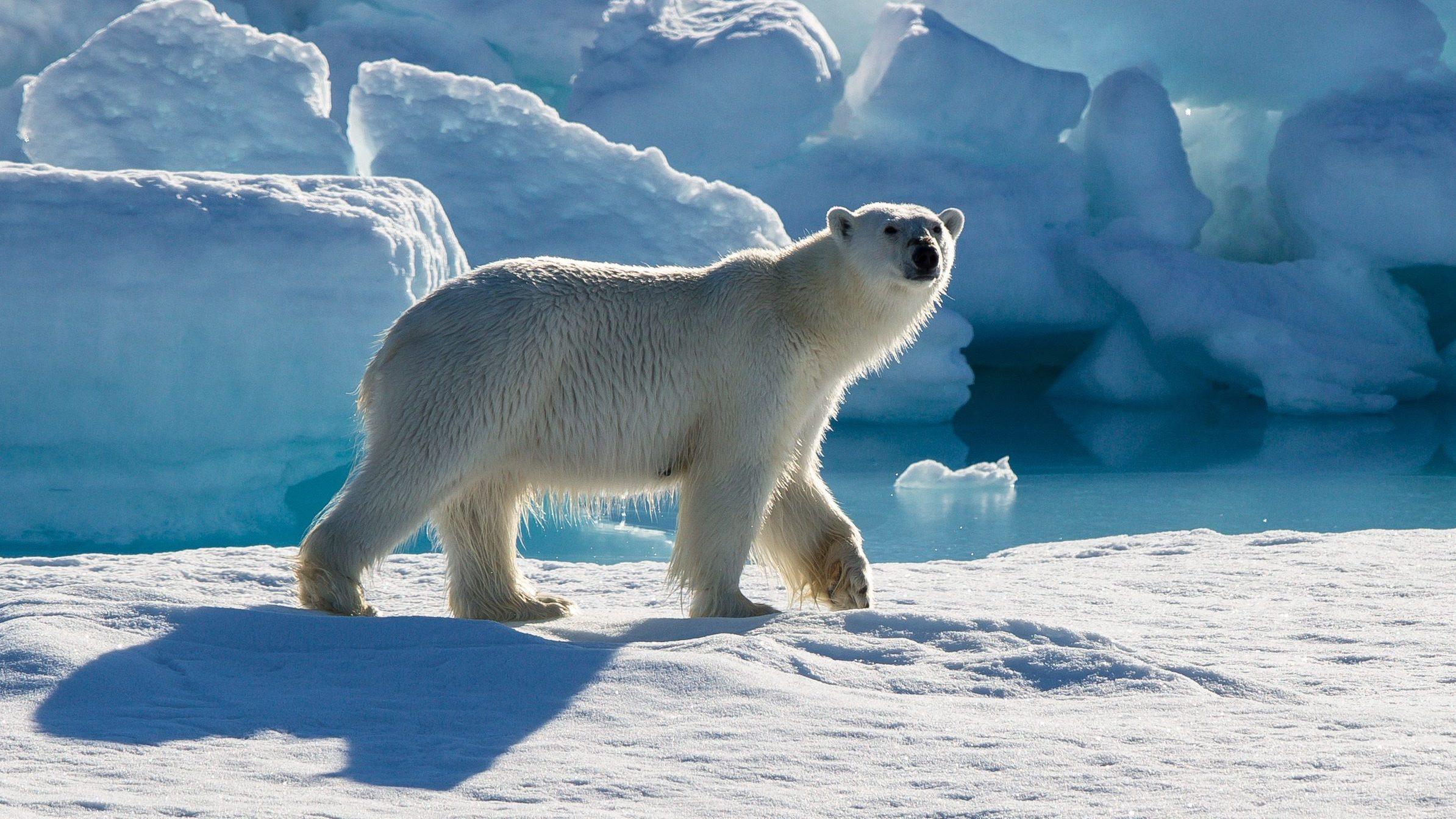 A Polar Bear, A Gun And A Courtroom In Nunavut