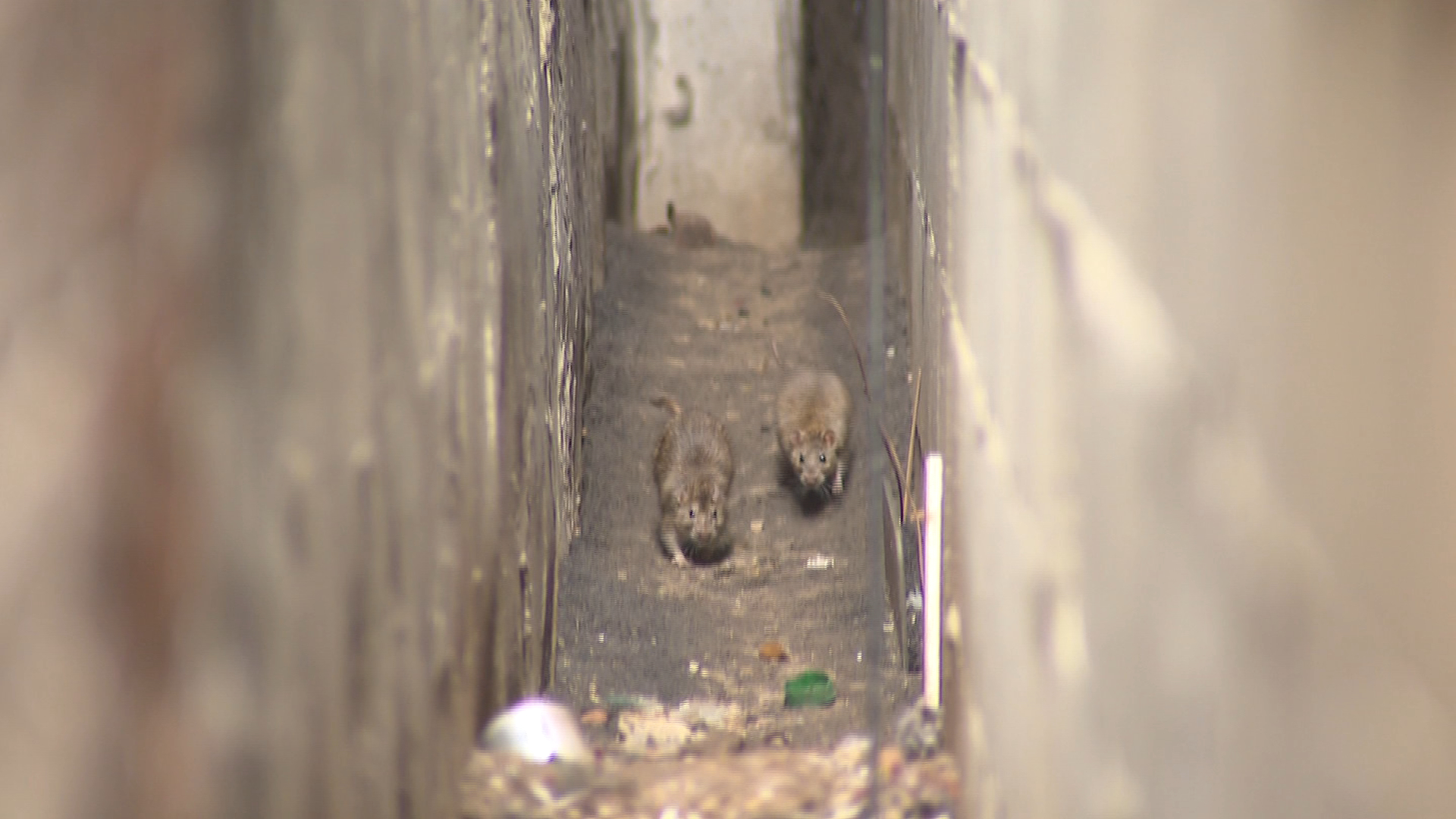 Expert says Toronto's rat problem is getting worse