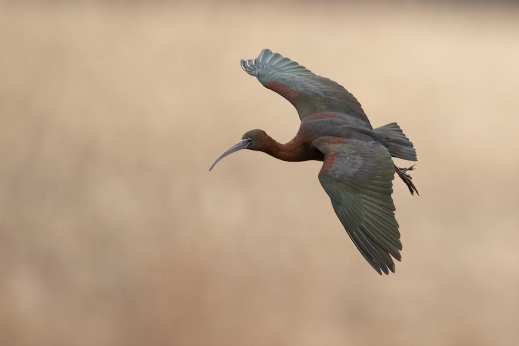 A glossy ibis drifts off course to a Nova Scotia marsh and